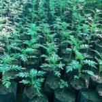 Marigold sapling