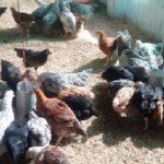 Birds at Poultry Unit
