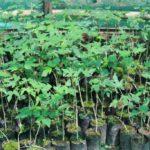 Papaya sapling